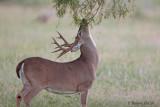 Choke Canyon Buck5.jpg