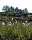 Bog cotton, Castle Tioram (by Ruth)