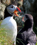 Puffins on Lunga, West Coast of Scotland 2007