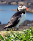 Puffin poseur!