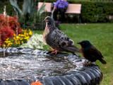 Fountain birds