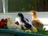 chicks and pansies.jpg