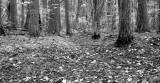 White Cedars