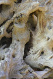 March : Bleached tree root