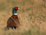 Common (Ring-necked) Pheasant