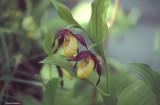 Scarpetta di Venere (Cypipredium calceolus).jpg