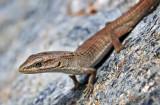 San Diego Alligator Lizard - Juvenile