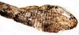 Shed - Alligator Lizard (Head Area)