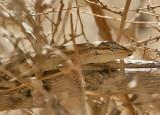 Long-Tailed Brush Lizard