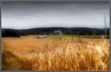 Color of corn ...