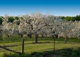 Mr Apple tree