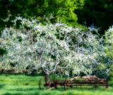 Vapors of apple tree