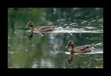 Ducks are alway in pair to swim  Here, they are 4 .. They are careful !
