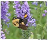Bumble Bee 2.jpg