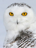 Fun With Snowy Owls - Ravissements avec les harfangs