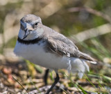 Wrybill  - Bent Beak.