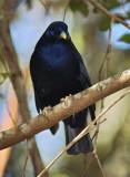 Satin Bower Bird Male