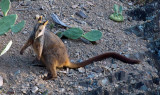 A Very Long Tail! - Rock Wallaby