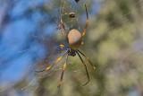 Golden Orbwebb Spider