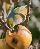 Waxeye eating an Apple
