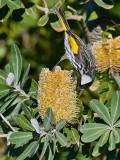 White Cheeked Honeyeater