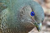 Female  Satin Bower Bird