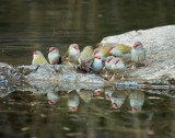 Red Browed Finches Bathing