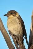 Grey Butcher Bird - Immature