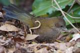 Whip Bird - Female