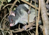 Mountain Brush Tailed Possum