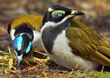 Blue Faced Honeyeaters - Adult and Immature