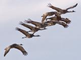Sandhill Cranes, Socorro, NM, 2006