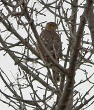 5158 Coopers Hawk immature.jpg