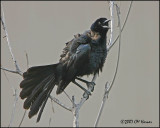 5828 Great-tailed Grackle.jpg