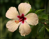 6091 Hibiscus.jpg