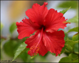 6105 Red Hibiscus.jpg