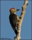 6369 Golden-fronted Woodpecker.jpg