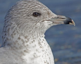 5471 Ring-billed gull 1st winter.jpg