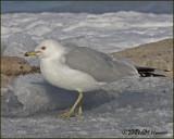 5506 Ring-billed Gull adult breeding.jpg