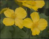 6658 Wood or Celandine Poppy.jpg