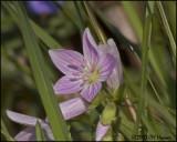 6796 Spring Beauty.jpg
