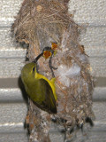 Sunbird feeding 2 young IMGP2787