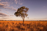Lone gidgee tree at sunset, Moorinya _DSC8992