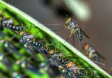Iridescent flies on rainforest leaf (DSC_8269)
