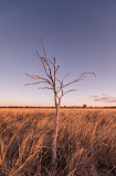 Dead gidgee tree and mitchell grass, Moorinya National Park DSC_8825