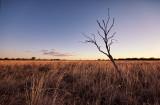 Dead tree and Mitchell grass, sunset DSC_8833