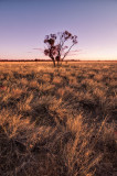 Lone gidgee in Mitchell grass plain, sunset DSC_8806