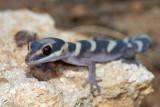 Young gecko, Oedura castelnaui, northern velvet gecko, Moorinya DSC_8524