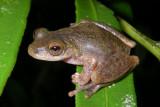 Common Mistfrog,  Litoria rheocola, near Innisfail, Queensland, Australia IMGP5192