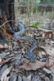Carpet python, Morelia spilota, advancing towards camera